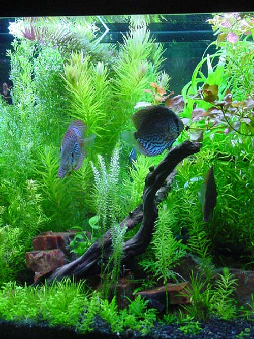 aquarium plants list heudelotii one of hundreds of aquatic plants found in the hobby 2017